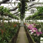 Growing Orchids in Your Greenhouse: An Introduction For Beginners