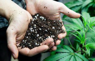 Best Soil for Cannabis Plants