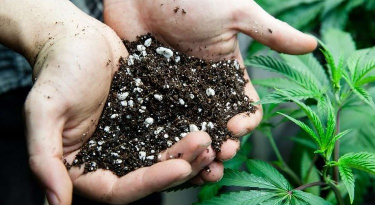 Best Soil for Cannabis Plants