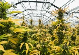 Marijuana leaves turning yellow